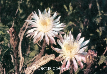 Night blooming Cereus (Peniocereus greggii) (blz 70).